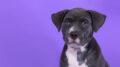Vendita cuccioli cane staffordshire Bull Terrier