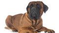 Vendita cuccioli cane Corso
